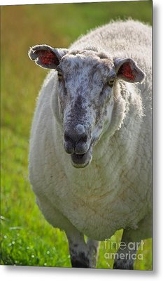 Portrait Of Sheep Metal Print by Angela Doelling AD DESIGN Photo and PhotoArt