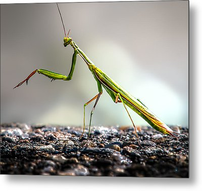 Praying Mantis  Metal Print by Bob Orsillo