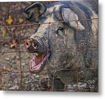 Pretty Pig Metal Print by Timothy Flanigan and Debbie Flanigan at Nature Exposure