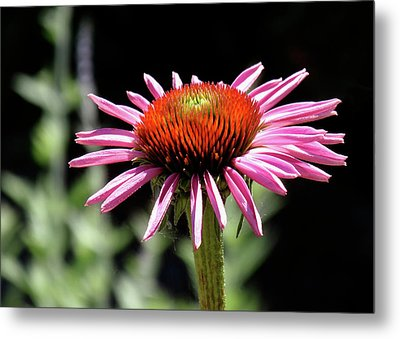 Pretty Pink Coneflower Metal Print by Rona Black