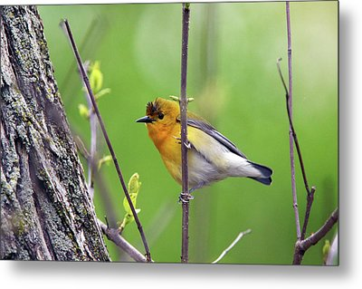 Prothonotary Warbler Metal Print by David Yunker