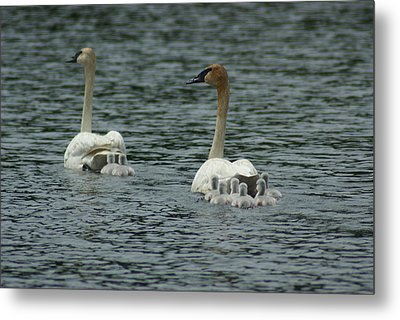 Proud Trumpeter Family Metal Print by Ron Read