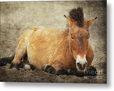 Przewalski-horse Metal Print by Angela Doelling AD DESIGN Photo and PhotoArt
