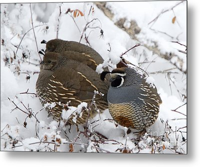 Puffed Winter Quail Family Metal Print by Mike Dawson