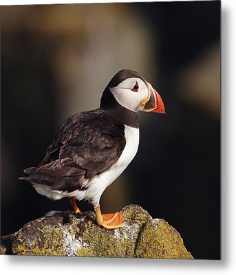 Puffin On Rock Metal Print by Grant Glendinning