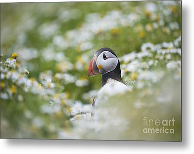 Puffin Metal Print by Tim Gainey