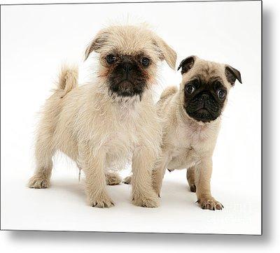 Pugzu And Pug Puppies Metal Print by Jane Burton