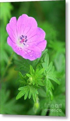 Purple Geranium Flower Metal Print by Neil Overy