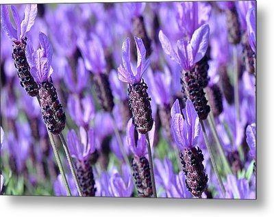 Purple Spanish Lavender Flower Metal Print by Brandon Bourdages