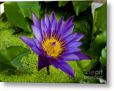 Purple Water Lily Metal Print by Ray Laskowitz - Printscapes
