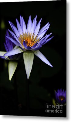 Purple Waterlily Metal Print by Avalon Fine Art Photography