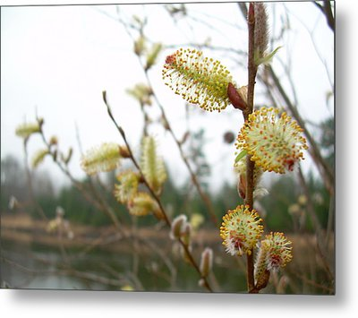 Pussy Willow Blossoms Metal Print by Kent Lorentzen