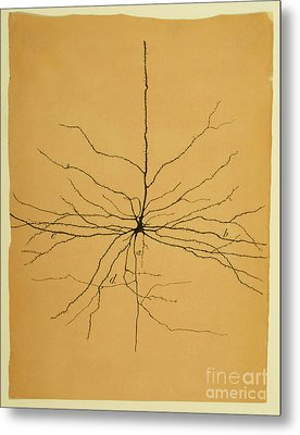 Pyramidal Cell In Cerebral Cortex, Cajal Metal Print by Science Source