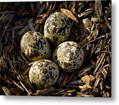 Quartet Of Killdeer Eggs By Jean Noren Metal Print by Jean Noren