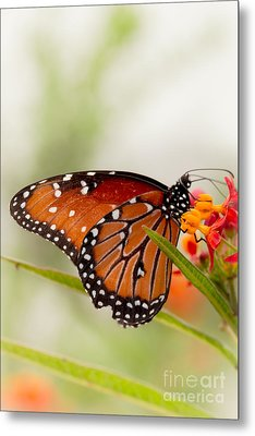 Queen Butterfly Metal Print by Ana V  Ramirez
