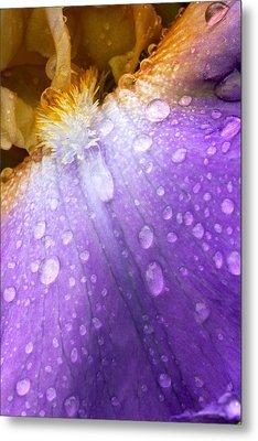 Rain Covered Iris Metal Print by Amanda Kiplinger
