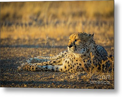 Reclining Cheetah Metal Print by Inge Johnsson
