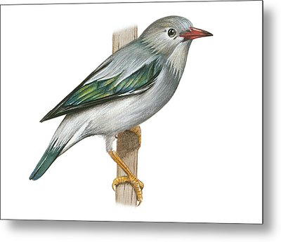 Red Billed Starling Metal Print by Lionel Portier