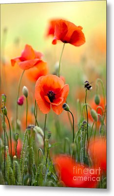 Red Corn Poppy Flowers 06 Metal Print by Nailia Schwarz