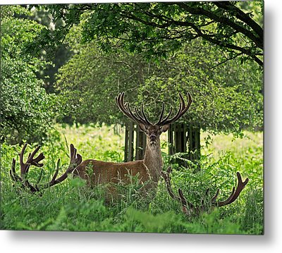 Red Deer Stag Metal Print by Rona Black