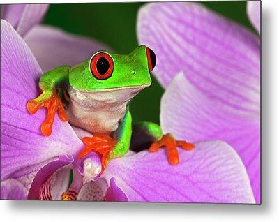 Red-eyed Tree Frog. Metal Print by Adam Jones