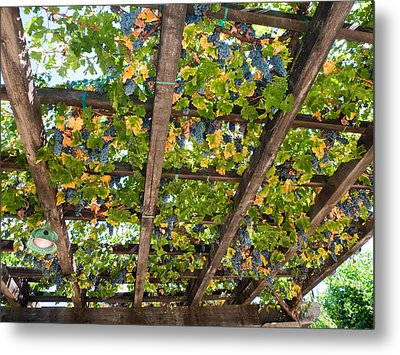 Red Grapes Hanging From A Trellis Napa Valley California Metal Print by George Oze