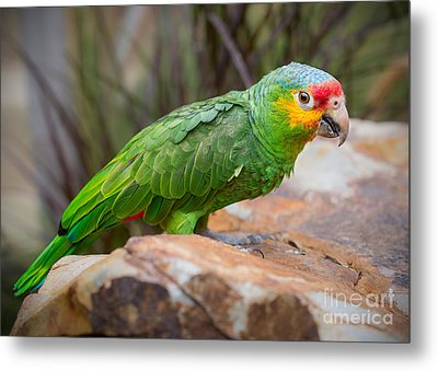 Red Lored Amazon Parrot Metal Print by Jamie Pham