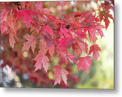 Red Maple Leaves Metal Print by James BO Insogna