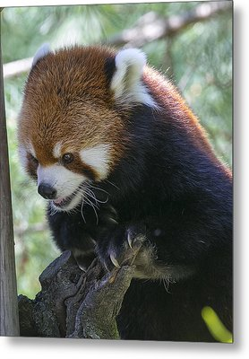 Red Panda Metal Print by Michel DesRoches