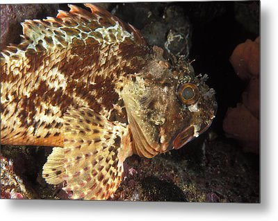 Red Rock Cod Fish. Scorpaena Papillosa Metal Print by James Forte