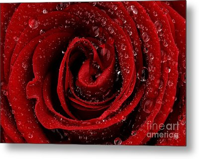 Red Rose Metal Print by Mark Johnson