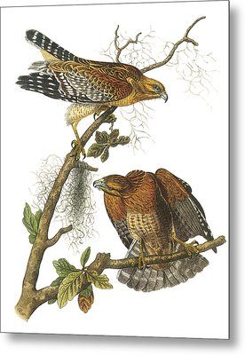 Red-shouldered Hawk Metal Print by John James Audubon