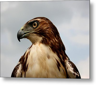 Red Tail Hawk 1 Metal Print by David Dunham