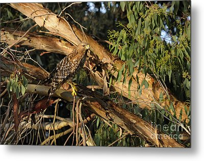 Red Tail Hawk Camouflage Metal Print by Marc Bittan