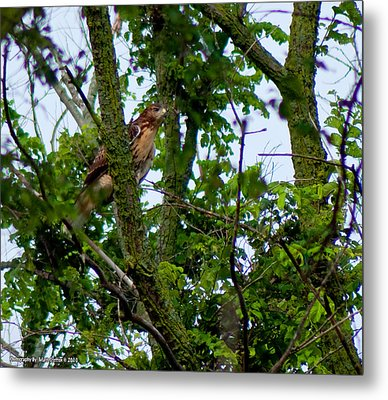 Red Tail Hawk Metal Print by Matt Steffen