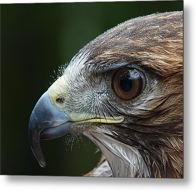 Red Tail Hawk Misted Metal Print by Peter Gray