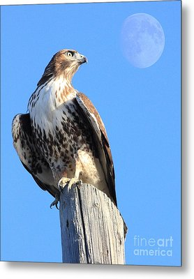 Red Tailed Hawk And Moon Metal Print by Wingsdomain Art and Photography