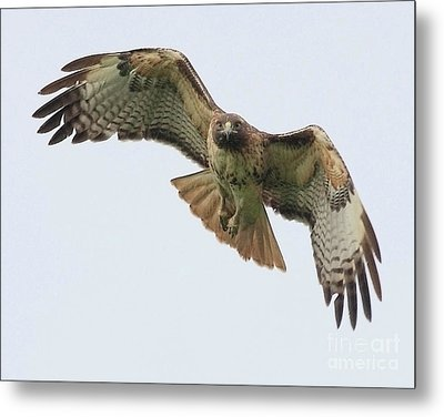 Red Tailed Hawk Finds Its Prey Metal Print by Wingsdomain Art and Photography