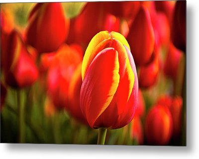 Red Tulip Metal Print by Tamyra Ayles