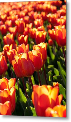 Red Tulips Metal Print by Francesco Emanuele Carucci