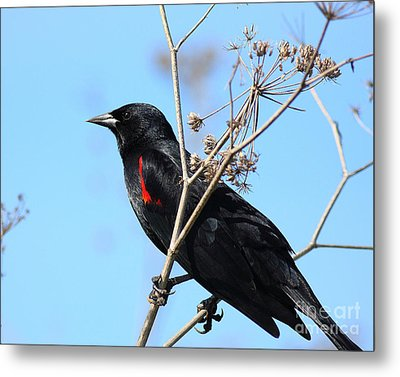 Red-winged Blackbird . 40d5718 Metal Print by Wingsdomain Art and Photography