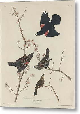 Red-winged Starling Metal Print by John James Audubon