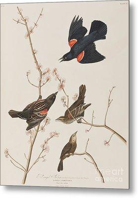 Red Winged Starling Or Marsh Blackbird Metal Print by John James Audubon