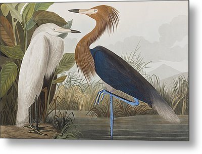 Reddish Egret Metal Print by John James Audubon
