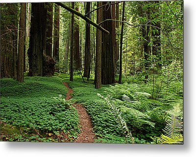 Redwood Forest Path Metal Print by Melany Sarafis