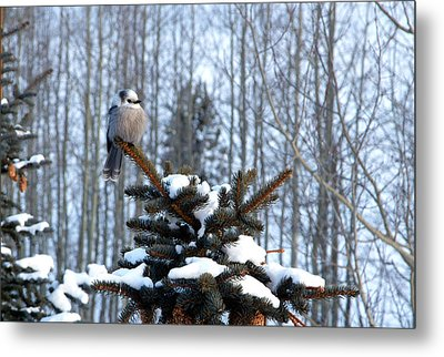 Refined Little Gray Jay In Colorado Metal Print by Carol M Highsmith