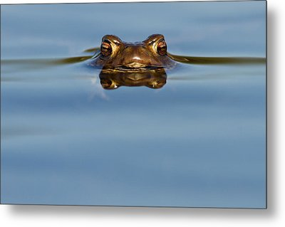 Reflections - Toad In A Lake Metal Print by Roeselien Raimond
