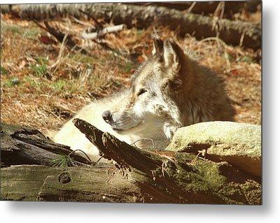Resting Wolf Metal Print by Karol Livote