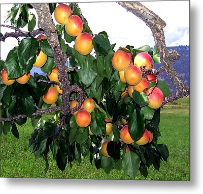 Ripe Apricots Metal Print by Will Borden