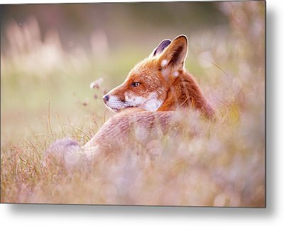 Romantic Red Fox Metal Print by Roeselien Raimond